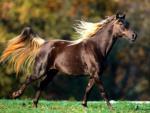 Ciemny koń z jasną grzywą