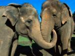 Objęte słonie