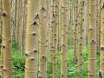 Drzewa w Aspen