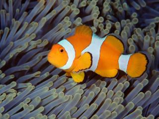 Obrazek: False Clown Anemonefish, Bali, Indonesia