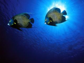 Obrazek: French Angelfish