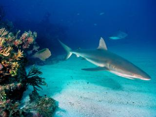 Obrazek: Gray Reef Sharks