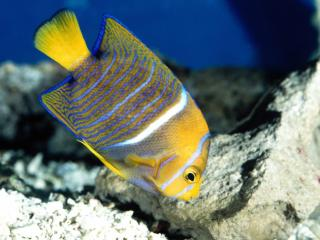 Obrazek: King Angelfish