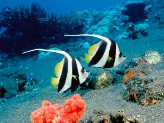 Obrazek: Long-Fin Bannerfish, Indonesia