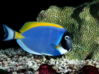 Obrazek: Powder Blue Tang