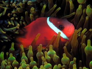 Obrazek: Red and Black Anemonefish