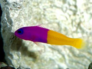 Obrazek: Royal Dottyback, Pacific