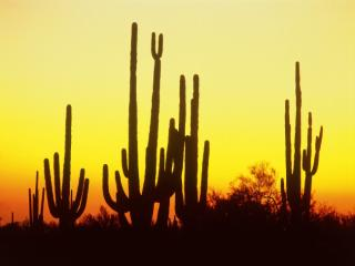 Obrazek: Saguaro Cactus at Sunset, Arizona