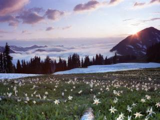 Obrazek: Avalanche Lilies at Appleton Pass, Olympic National Park