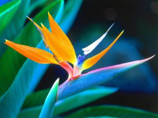 Obrazek: Bird of Paradise, Hawaii
