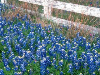 Obrazek: Blue Bonnets, Texas Hill Country,  Marble Falls, Texas