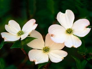 Obrazek: Flowering Dogwood Blossoms