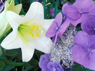 Obrazek: Hydrangea and Easter Lily