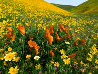 Obrazek: Peaceful Valley, Poppies and Coreopsis