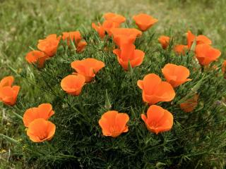 Obrazek: Roadside California Poppies, Los Angeles