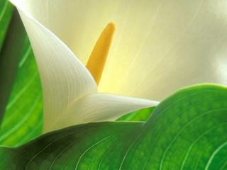 Obrazek: Study of Light and Form, Calla Lily