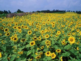 Obrazek: Sunflower Field, Near Lexington, Kentucky