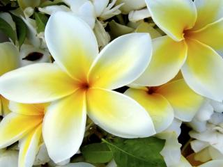 Obrazek: Tropical Plumeria Flower