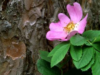 Obrazek: Wild Rose Against a Red Pine, Canada