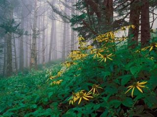 Obrazek: Woodland Sunflowers, Great Smoky Mountains, Tennessee