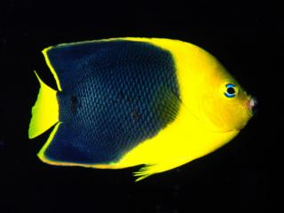 Obrazek: Rock Beauty Angelfish, Indo-Pacific