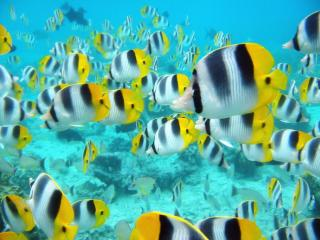 Obrazek: School of Tropical Fish, Tahiti