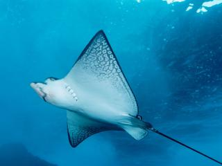 Obrazek: Spotted Eagle Ray
